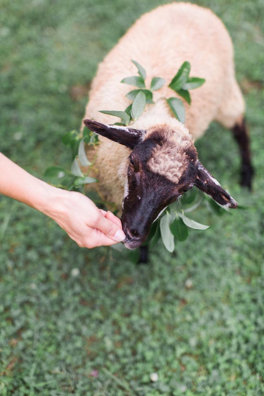 Sheep at a Wedding